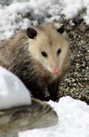 Opossum in the Snow