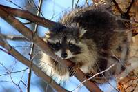 Young Raccoon in a Birch Tree