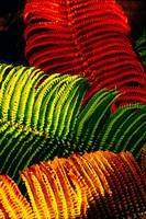 'Ama'u Fern - Close up of a colorful native Hawaii