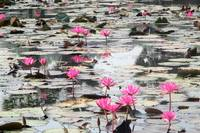 Cambodia Waterlilies