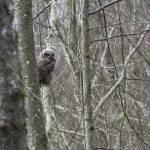"""Juvenile Great Horned Owl"" by poleyland"