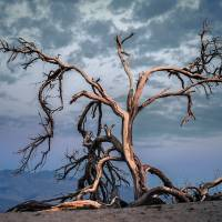 mesquite tree, death valley Art Prints & Posters by Jody Miller