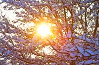 Snowy Tree Branches and Sunshine