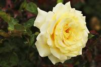 Yellow-Rose-with-Red-and-Green-Leaves-Single-B0106