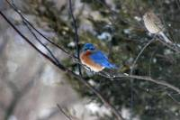 Bluebird and Finch in Winter