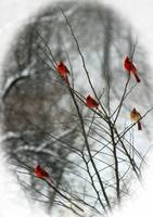 Cardinal Tree in Winter