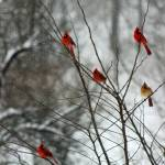 """Cardinals in a Tree in Winter"" by KsWorldArt"