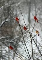 Cardinals in a Tree in Winter