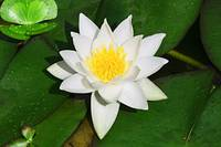 White-and-Yellow-Lilly-with-Green-Lilly-Pads-Singl