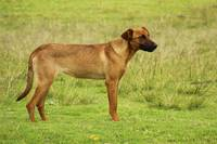 Brown Dog in a Field