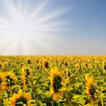 """""""Field of sunflowers"""" by byvalet"""