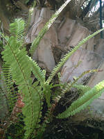 Ferns on a Palm Tree 8