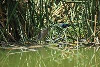 Striated Heron in a Lake