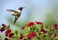 Hummingbird Frolic with Flowers