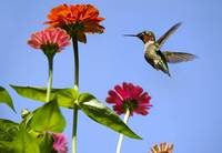 Hummingbird Happiness