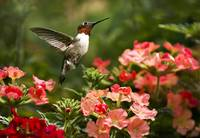 Graceful Garden Hummingbird Jewel