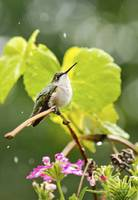 Hummingbird Summer Shower