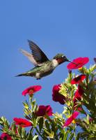 Hummingbird Moment of Joy