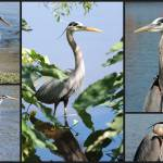 """Great Blue Heron Collage"" by Groecar"