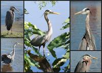 Great Blue Heron Collage