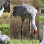 """Sandhill Crane Collage"" by Groecar"