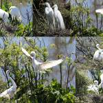 """Nesting Great Egrets Collage"" by Groecar"