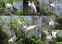 Nesting Great Egrets Collage