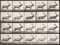 EADWEARD MUYBRIDGE, (1830 - 1904), ELK TROTTING (A