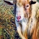 """Billy Goat Closeup"" by susansartgallery"