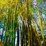 """Morikami Gardens Bamboo Forest"" by GinetteCallaway"