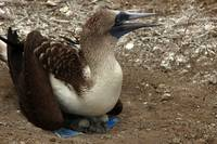 Blue Footed Boobie and Young Chicks