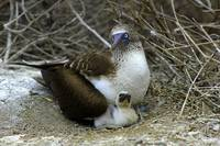 Blue Footed Boobie and Chick on a Nest