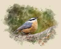 Nuthatch Watercolor Painting