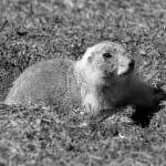 """Black Tailed Prairie Dog"" by rhamm"