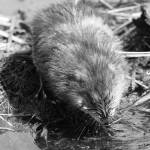 """Muskrat Drinking Water"" by rhamm"