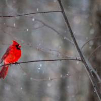 Cardinal In The Snow Art Prints & Posters by Karol Livote