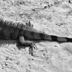 """""""Lazy Lizard"""" by LukeMoore"""