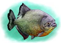 Red-Breasted or Red-Bellied Piranha