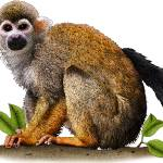 """Common Squirrel Monkey"" by inkart"
