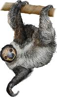 Linnaeus's or Southern Two-Toed Sloth