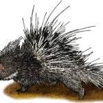"""Malayan or Himalayan Porcupine"" by inkart"