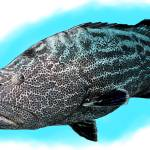 """Black Grouper"" by inkart"
