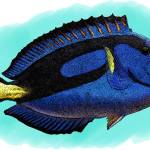 """Blue Tang"" by inkart"
