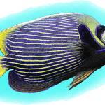 """""""Emperor Angelfish"""" by inkart"""