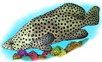 Humpback Grouper