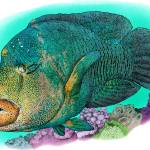 """Humphead Wrasse"" by inkart"