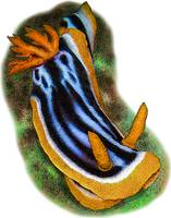 Elizabeth's Chromodoris or Sea Slug Nudibranch