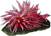 Hopkin's Rose or Sea Slug Nudibranch