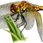 """""""Western Meadowhawk Dragonfly"""" by inkart"""