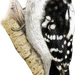"""Downy Woodpecker"" by inkart"
